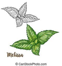 Full color realistic sketch illustration of melissa, vector...