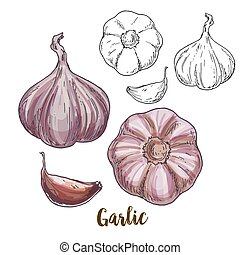 Full color realistic sketch illustration of garlic, vector...