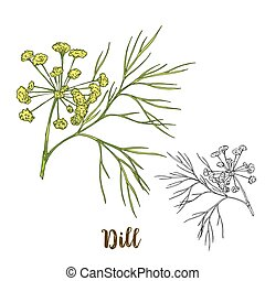 Full color realistic sketch illustration of dill, vector...