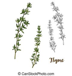 Full color realistic sketch illustration of thyme, vector...