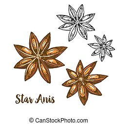Full color realistic sketch illustration of star anis,...