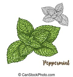 Full color realistic sketch illustration of peppermint,...