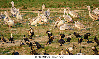 River shore with pelicans and cormorants - Sunset at river...