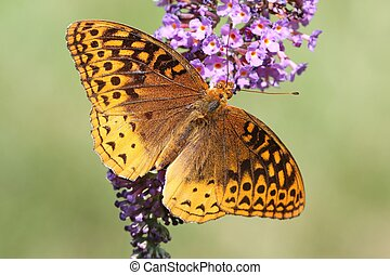 Great Spangled Fritillary Butterfly (Speyeria cybele) on...