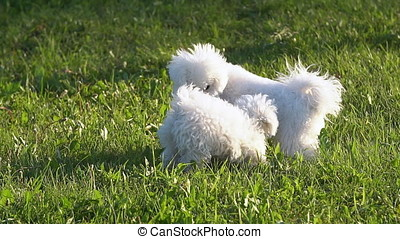White Bichon Frise on a walk on a Sunny day