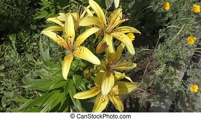 Lily yellow speckled blossoms in summer day