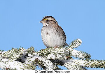 White-throated Sparrow (zonotrichia albicollis) In Snow