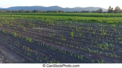 Flying above young corn plants. Aerial footage.