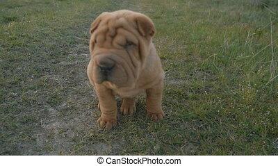 shar pei breed dog sits - A Shar Pei dog sitting on the lawn