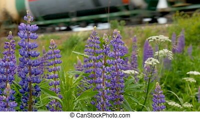 Purple lupines blooms in the fields. In the background a...