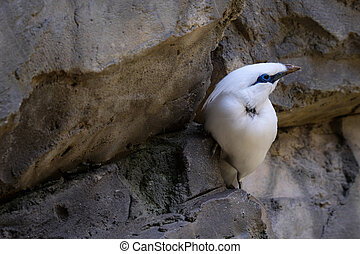 FUENGIROLA, ANDALUCIA/SPAIN - JULY 4 : Bali Starling...