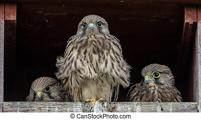 Big Brother - The three remaining nestlings in the Kestrel's...