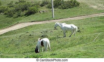 Two White horses eating grass in pasture - White horses...