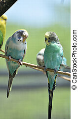 Amazing Pair of Parakeets with Pastel Colored Feathers