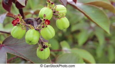 Jatropha fruit for distill bio diesel