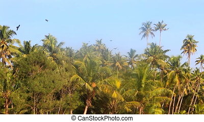 huge number of Indian house crows gathered in palm grove . -...