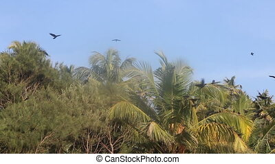 huge number of Indian house crows gathered in palm grove -...