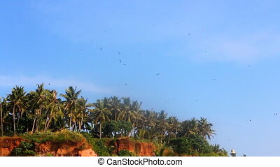 Numerous Black kites soar over cliff and palm trees -...