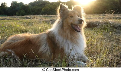 Collie dog lying down on green field at sunlight - Collie...