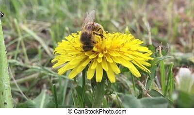 Beautiful bee. bee collects nectar on a dandelion, nature...