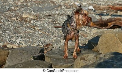 wet dog Yorkshire terrier stands on the stones near sea....