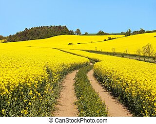 Field of rapeseed, canola or colza and rural road - Field of...