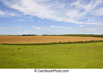 grazing hereford cows - hereford cows grazing in a yorkshire...
