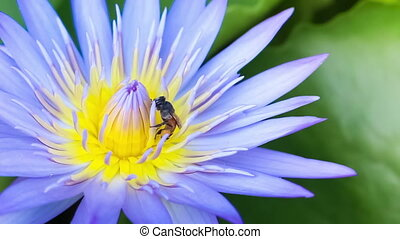 Bee Swarm blue Lotus Flower