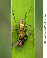 Image of oxyopidae spider going to eat fly on green leaves....