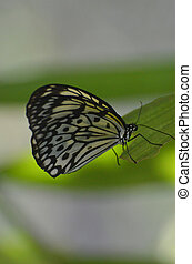 Beautiful White Tree Nymph Butterfly on a Leaf - Gorgeous...