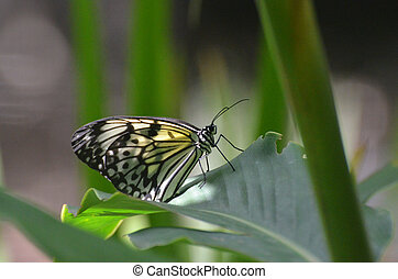 Large Paper Kite Butterfly on a Green Leaf - Beautiful large...