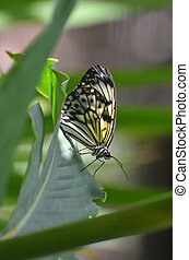 Rice Paper Butterfly on the Stem of a Plant - A beautiful...