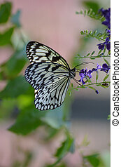 Rice Paper Butterfly Clinging to a Purple Flower Blossom -...