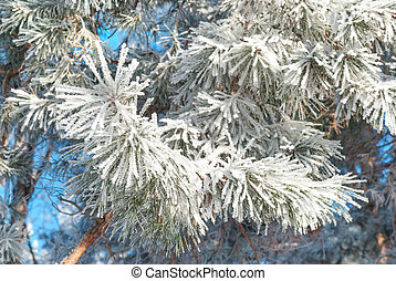 Pine needles covered hoarfrost - Winter background: pine...
