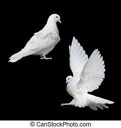 weißes, zwei, Tauben