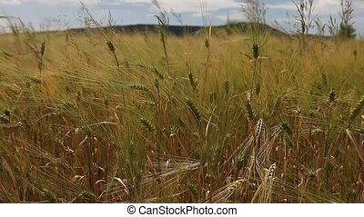 Wheat grain crop field on a sunny day - Wheat grain crop...