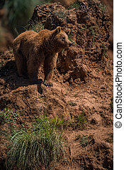 Brown bear stands on red rocky outcrop
