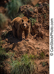 Brown bear standing on steep rocky outcrop