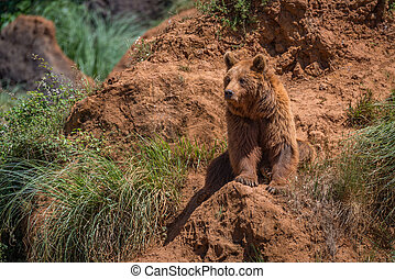 Brown bear sits on red rocky outcrop