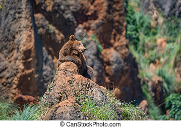 Brown bear on rock with open mouth