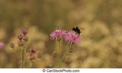 A bumblebee gathers pollen from a field flower
