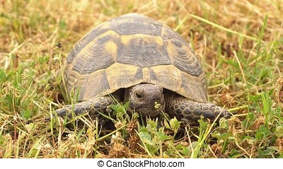 Turtle slowly moving through the scene on green grass -...
