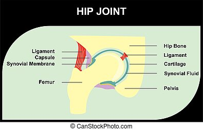 Hip Joint of Anatomy Human Body for medical science...