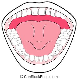 Opened Mouth Anatomy Showing the Teeth Tongue Tonsils