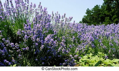 A flowering lavender field - Bushes of flowering lavender on...