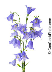 beautiful blooming bouquet blue bell flower isolated on...