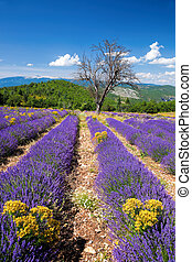 Lavender field in Provence, near the Sault town in France
