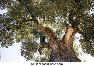 Secular Olives of Italy - The ancient olive trees of the...