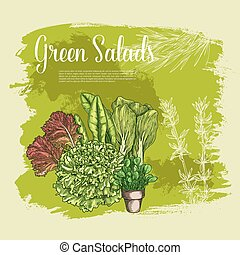 Vector poster of lettuce salads leafy vegetables - Salads...
