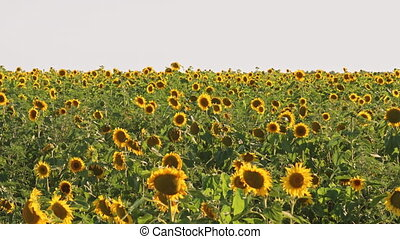 Field of sunflowers - Field of blooming sunflowers on a blue...